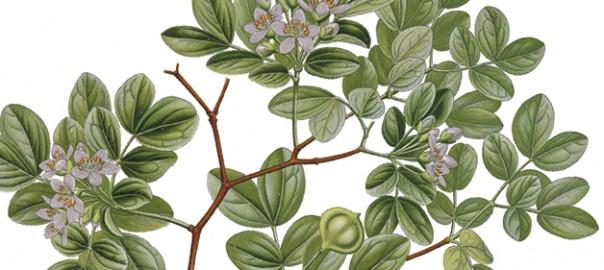 Fragment de làmina de l'espècie Guaiacum officinale, nom científic per al guaiac. Segons diverses fonts de l'època, la fusta d'aquest arbre natiu de l'Amèrica tropical ja s'utilitzava en la península Ibèrica en la primera dècada del segle XVI. / Franz Eugen Köhler, Köhler's Medizinal-Pflanzen, 1897