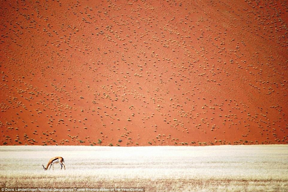Una gasela menjant prop d'una duna del desert d'Erong, Namíbia (fotografia: Doris Landertinger)