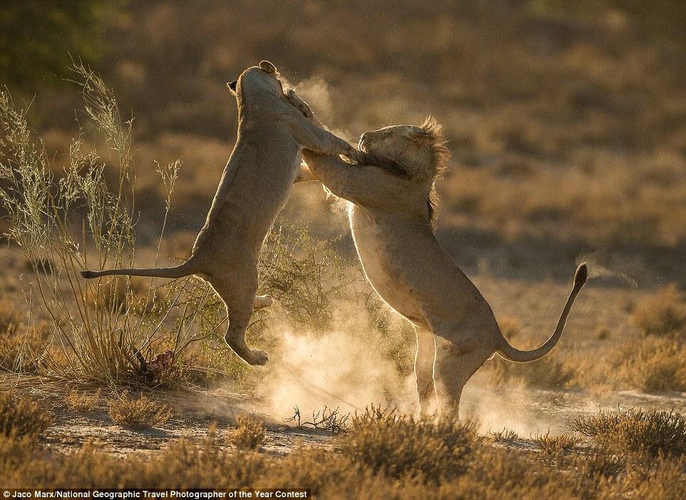 Dos cadells de lleó en plena lluita en un parc natural de Sud-àfrica (fotografia: Jaco Marx)