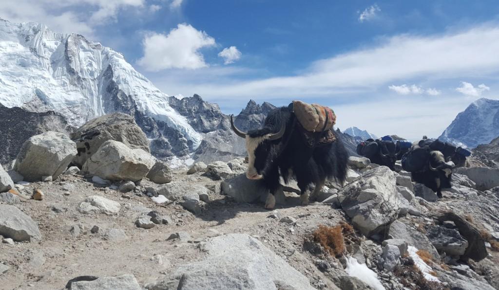 Uns yaks de camí al camp base de l'Everest (fotografia: Sharna Ward)