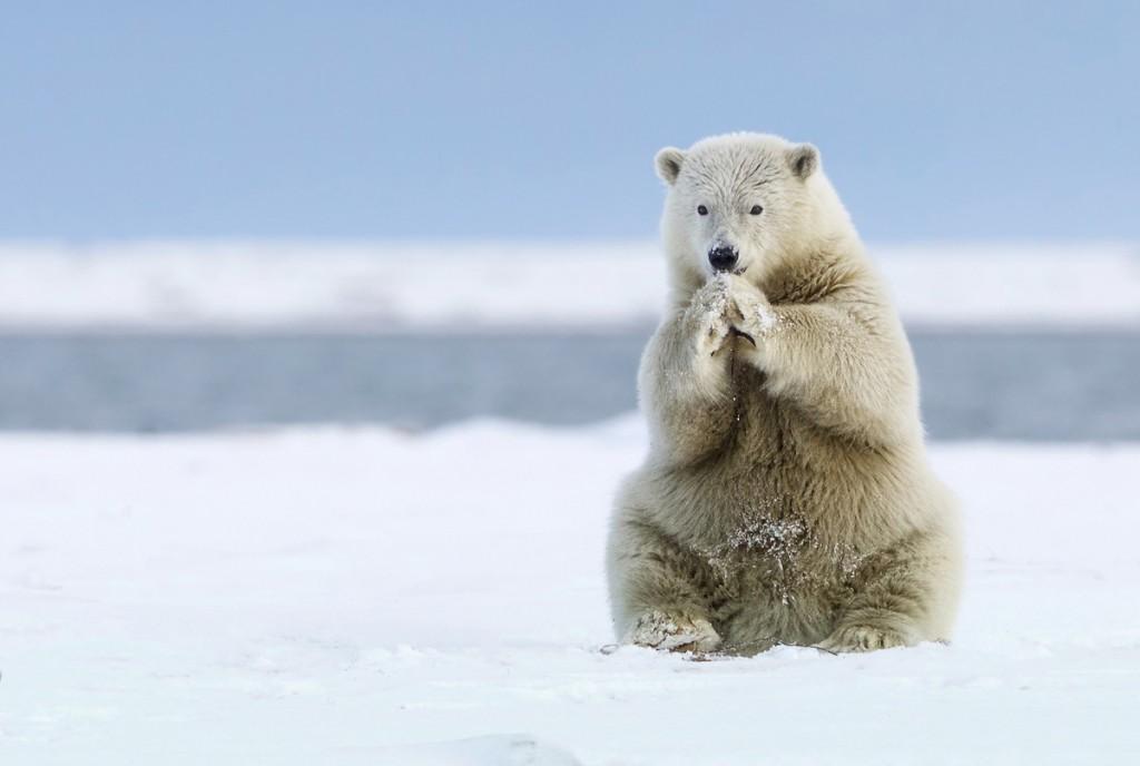 Un ós polar jugant amb la neu a Kaktovik, Alaska (fotografia: Missy Mandel)