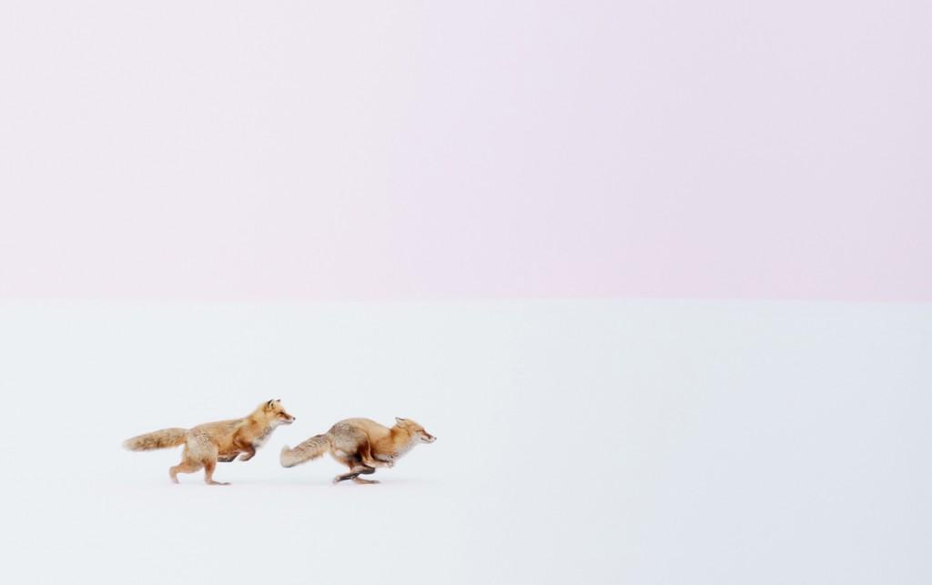Dues guineus corrent en un paisatge nevat de Hokkaido, Japó (fotografia: Hiroki Inoue)