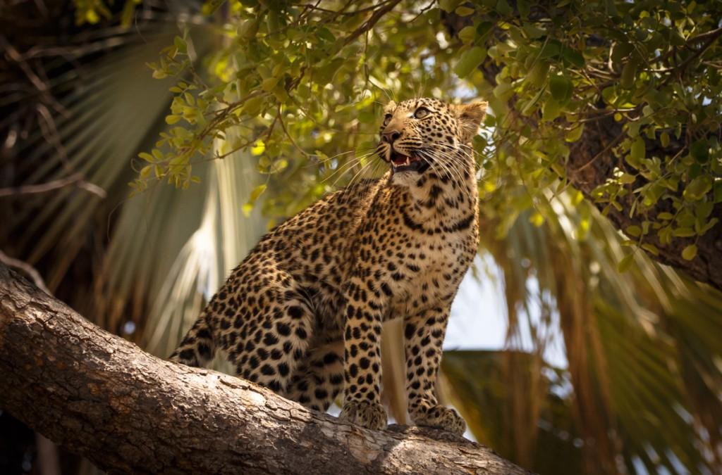Un lleopard en un arbre a Linyanti, Botswana (fotografia: M. Engelmann)