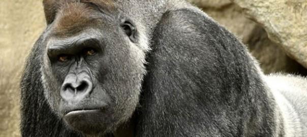 gorila-vilaweb