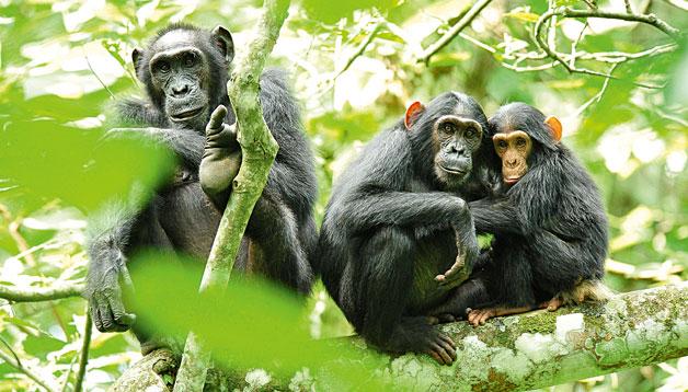 Les cries de primats no humans naixen amb una mobilitat relativament avançada. El seu ritme de desenvolupament es considera precoç en comparació amb el d'humans i altres mamífers. A dalt, un grup de ximpanzés.