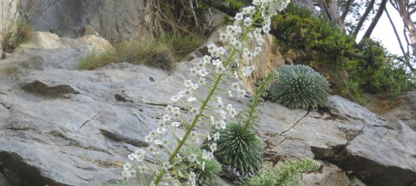 Saxifraga_longifolia_(1)