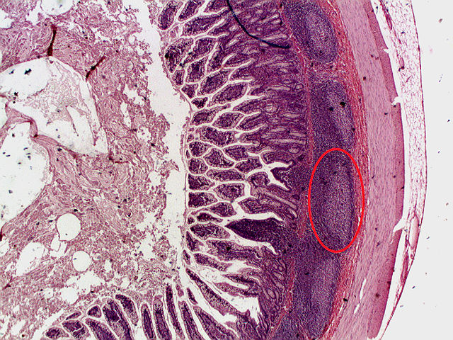 Histology USMLE Step 1 Practice Question