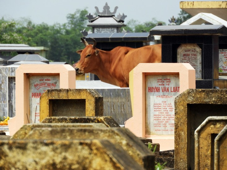 cow on the cemetery