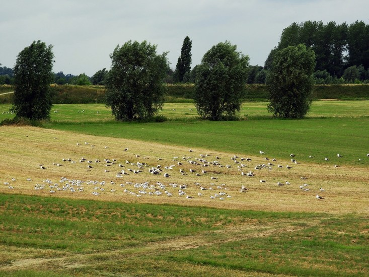 seagulls in the fields