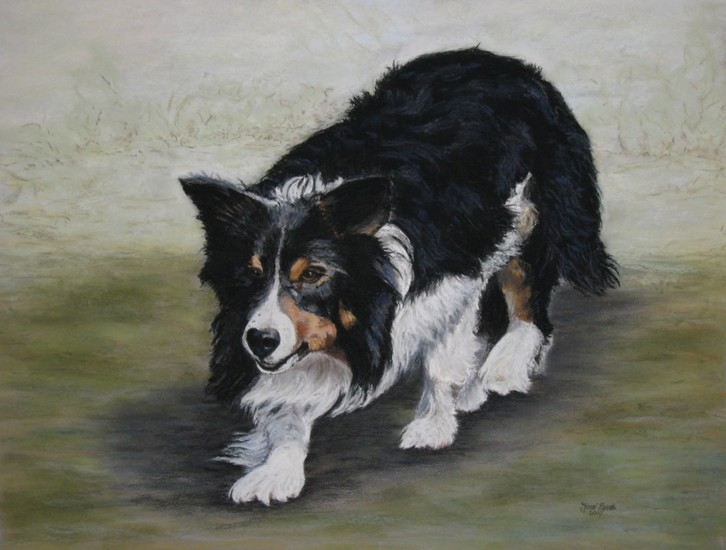 Werkende Border Collie