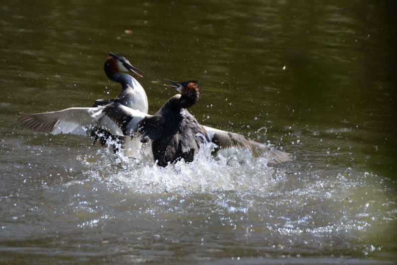 Grebes fight
