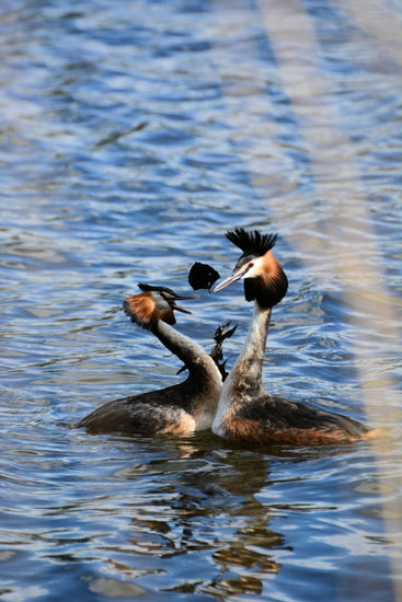 Grebes in love 2