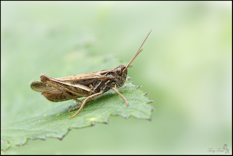 Sprinkhaan (Orthoptera)