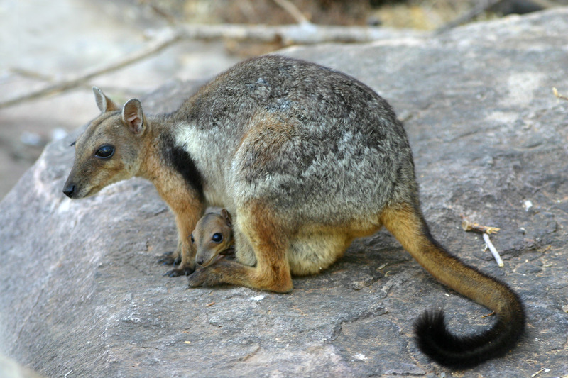 rotswallaby