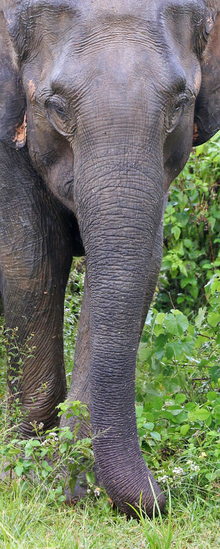 Olifant in Sri Lanka