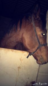 حصان شعبي جميل