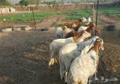 فرصة من ذهب مزرعة للتقبيل مجهزة بالكامل مزروعة برسيم وشعير وفيها اغنام