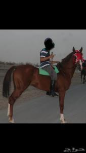 حصان جزيري