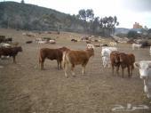 أبقار أوربية عالية الجودة لكبار التجار فقط