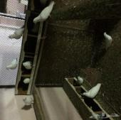 حمام صنعاني للبيع