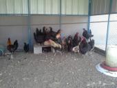 دجاج اسود