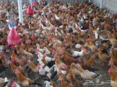 دجاج بلدي بشاير