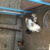 دجاج براهما كولومبي البيع سمح