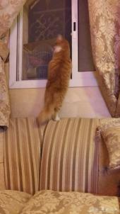 قطوه شيرازيه . الرياض