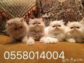 للبيع قطط صغيره هملايا وشرازي بكي فيس من آب وأم مستوردين من اكرانيا