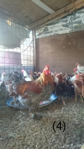 دجاج بلدي بياااض . للبيع .