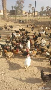 دجاج بلدي بياض 200 دجاجه وديك