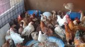 دجاج بياض ودجاج بشاير للبيع ..