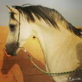 حصان واهو  مصري بيور