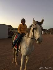 حصان شعيي