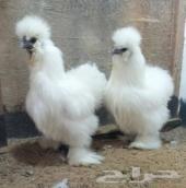 دجاج قطني