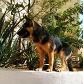 كلبه جرو جيرمن شيبرد انثى ورك لاين ميديم هير 4 شهور  للبيع