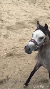 حصان عربي معسوف وسليم لون أشعل