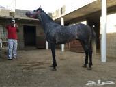 حصان شعبي حفيد ميمون العاديات المزاد إلى بكرة العصر