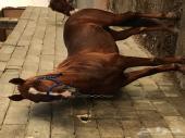 حصان شعبي طرب