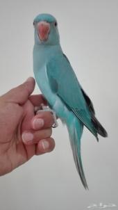 دور هولندي جامبو ازرق اليفه جدا جناح كامل تمسح عليها كامل الجسم تطلع على اليد وتأكل من اليد بداية تد