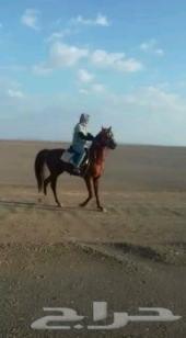 الي يعرف صاحب الحصان ذا الرجاء يتواصل معي