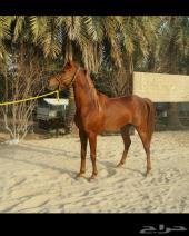 للبيع حصان واهو جميل وسبوق
