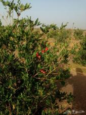اللبيع مزرعة على طريق المدينه المنورة حايل