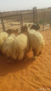 خمس خرفان نعيم للبيع جبرة وشحم