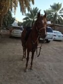 حصان شعبي عربي