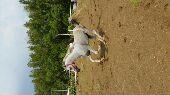 حصان عربي والبيع سماحه
