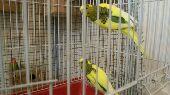 طيور الحب بادجي