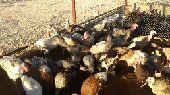 دجاج رومي بياض
