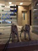 كلاب للبيع سسامويد اوكراني