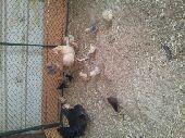 اللبيع دجاجتين معهن 28 صوص